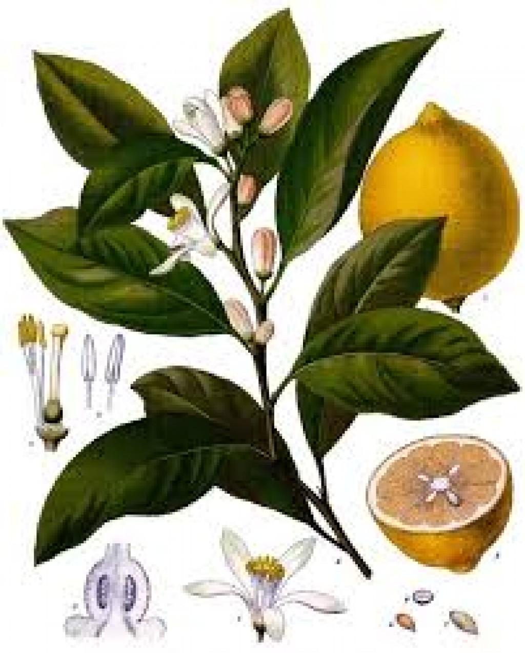 LIMÓN Y LIMONAR, lemon, key lime - Citrus limonum, C. aurantifolia